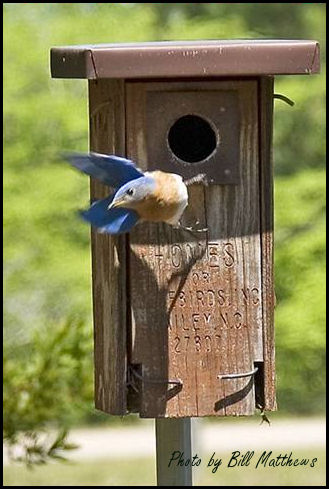This bluebird is on a mission!  What a beautiful photo taken by Bill in NC of this bluebird exiting the nestbox.  This is one of the Home for Bluebirds, made in Bailey, NC.
