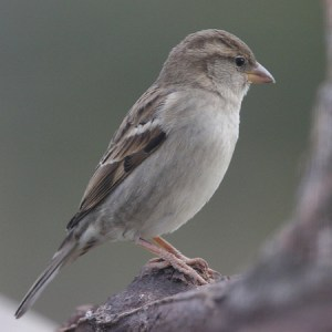Female House Sparrow.  Not JUST another little brown bird!