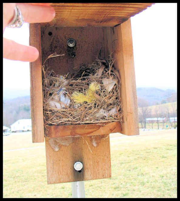 This is a 5-day old HOSP nest.   Part of being a monitor is learning to know what kind of bird is occupying the bluebird boxes.  If it's a HOSP, this nest should be removed.