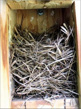 This grass nest was built for a third brood in this box in 2008!   These grasses are longer and thicker, obtained from a local hay field.  These bluebirds built this nest much higher than usual.   Photo taken July 1, 2008.