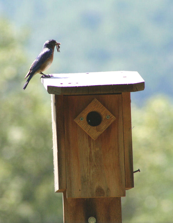 INVASIVE SPECIES: HOUSE SPARROW CONTROL | The WOOLWINE HOUSE ...