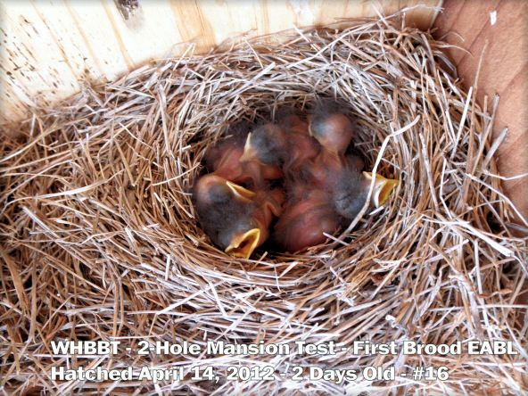 5-day old nestlings from the two-hole mansion.  Photo taken April 2012.