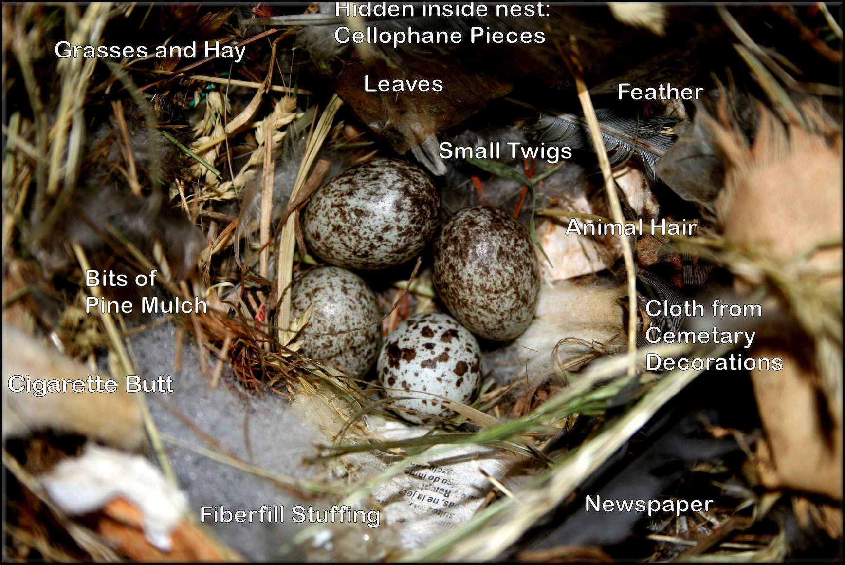 House martin building nest egg