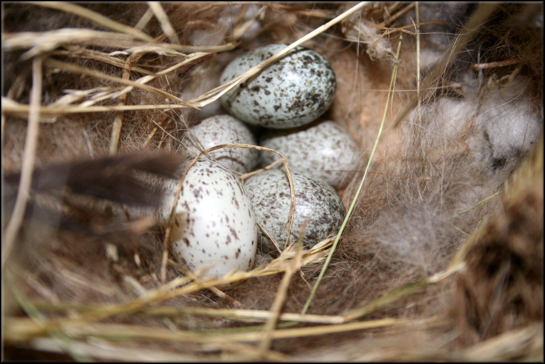 PHOTOS TO HELP YOU ID HOUSE SPARROW NESTS AND EGGS (DO NOT ...