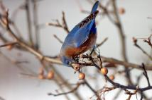 Berries are getting scarce now.  This is a great time to supplment food.  I like to keep the mealworms handy through the at least the end of April because of the cold snaps and ice storms we can get here.