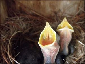 Chickadee Hatchlings
