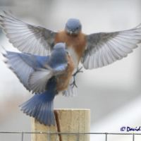 """BLUEBIRD"" - A POEM BY JOHN BURROUGHS"