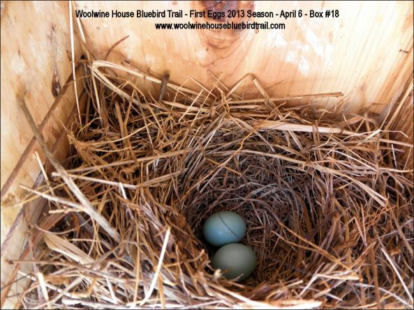 THE FIRST EGGS FOR NESTING SEASON 2013 HAVE ARRIVED!
