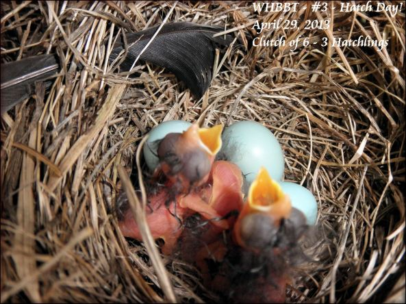 First Eastern Bluebird Hatchlings for 2013.