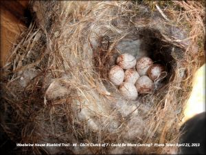 No blanket of fur and hair on this nest on a clutch of 7.  Photo of this nest was taken April 21, 2013, in one nestbox.