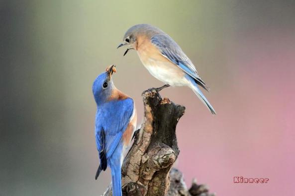 """""""As long as there are bluebirds, there will be miracles and a way to find happiness."""" - Shirl Brunnel, I Hear Bluebirds, 1984  ..... One of Mr. Kinneer's splendid captures of Eastern Bluebird courtship."""