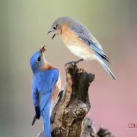 BLUEBIRD COURTSHIP.