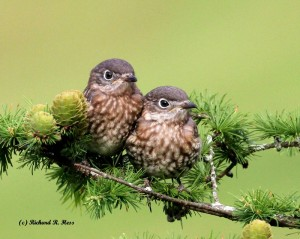 Photo by Richard Hess.   What's not to love?   A successful fledging from a nestbox is goal #1.