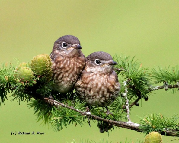 Photo by Richard Hess. What's not to love? A successful fledging from a nestbox is goal #1. PLEASE USE PREDATOR GUARDS.