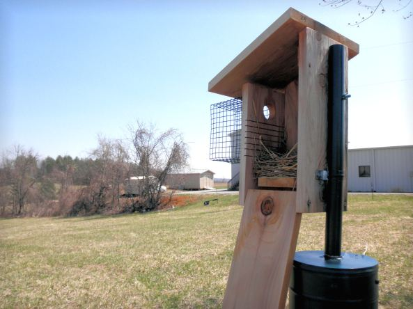 I really like this setup--and so do the nesting birds.  This is an Eastern Bluebird nest in progress.  Wahoo!