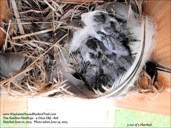 """Nest is still very clean.  Nearing fledging date, the parents don't """"pick up"""" after the kids like the bluebirds do.  I expect some manual cleaning by me will be taking place after they have left the nestbox."""
