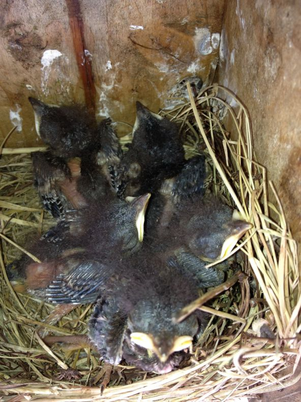 """Photo of the twins and the other three hatchlings on July 10, 2013.  Quote by Mr. Clark:  """"Nine days old. Note the smallest is still ok but certainly has some catching up to do."""" Photo by Gerald Clark, State College, PA"""