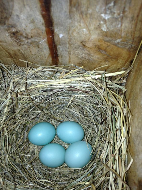4 Bluebird Eggs - June 21, 2013.  Photo by Gerald Clark, State College, PA