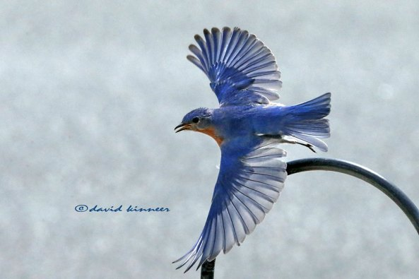 Fly like the wind with the sky on your back, Mr. Bluebird!