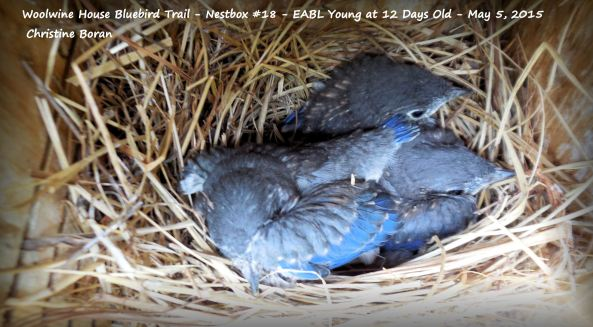 WHBBT-Nestbox #18-EABL at 12 Days-May 5-2015