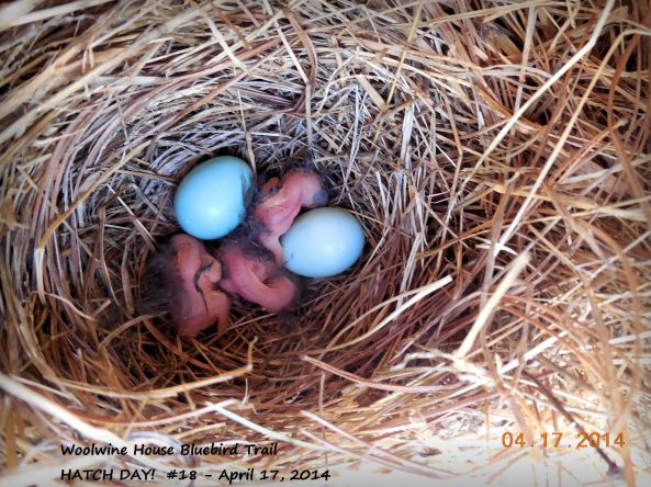 Eastern Bluebirds on Hatch Day.