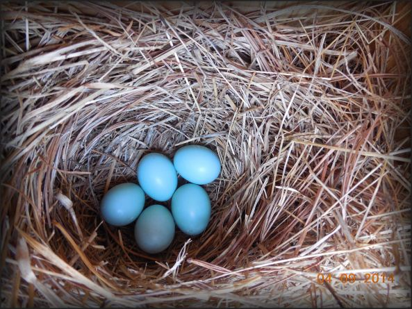 FIRST FULL CLUTCH OF BLUEBIRD EGGS IN INCUBATION FOR 2014.