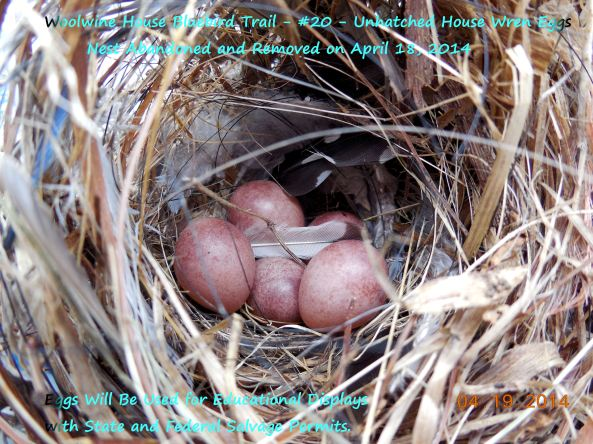 Abandoned nest.   Was she taken out by a hawk?   This is a nice example of what HOWR eggs look like.  They are sometimes hard to find inside their nests when inside the nestbox.