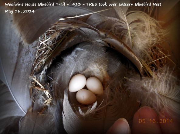 This TRES couple took over a bluebird nest that had a cluth of 5 bluebird eggs.  Not sure if it was the TRES or a HOWR or a HOSP that broke the eggs in this area.   Some species did--and it was not mammal.