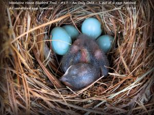 Hello Monitors! It was easy to remove these 4 unhatched eggs with a plastic spoon, one at a time, and very carefully so as not to disturb this nestling. Once they get to 5-7 days old, it gets more difficult without causing a stir and a disturbance to the young. Try to remove unhatched eggs, if you're comfortable doing so, before the 4th or 5th day of age. If you are not comfortable with it, don't do it. It would be better to leave them if you are nervous doing so. When removing unhatched eggs, learn to do so quickly and close the box. I try not to leave the nest open too long to deter the odors of growing birds and the nest to potential predators out there. I removed these because there were so many and were on top of the nest, more easily cracked and broken and could cause a major smelly, sticky mess to the nest. That is not good.