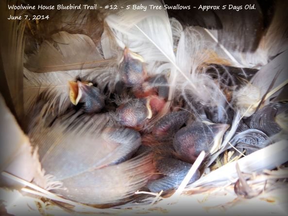 WHBBT-#12-TRES5Nestlings-June 7-2014