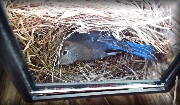 Incubating Eastern Bluebird