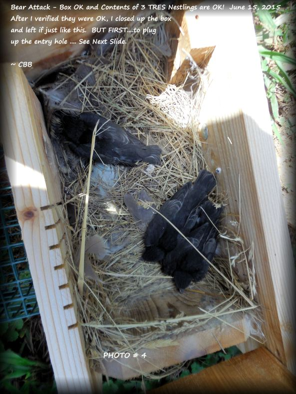When I opened the box, this is what I found. I reinstalled the nestbox with the young stil inside and readjusted the nest. The parent TRES returned to feed and the young fledged 3 days later!