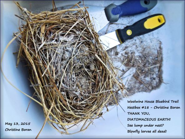 I use a shallow white bucket to clean all fledged nests out of the nestboxes, including any detritus. I then dissect the used, soiled nests to see what's going on inside that nest during the nesting cycle. What I find inside is very educational. In this picture, you'll see DEAD BLOWFLY LARVAE. Thank you diatomaceous earth!
