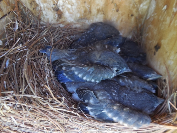Pretty Eastern Bluebird young soon to fledge. Don't you love their color? I never use flash on the young birds inside the nestbox. That is very intrusive!