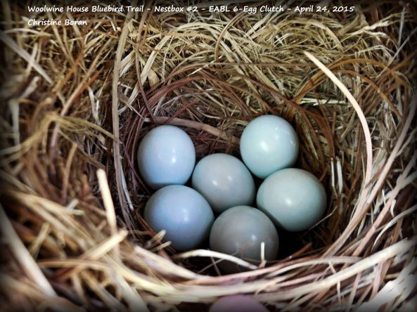 Pretty Eastern Bluebird egg clutch.