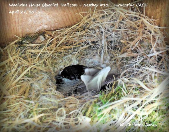 Incubating Carolina Chickadee