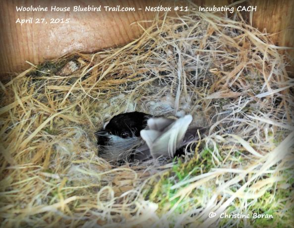 Incubating Carolina Chickadee