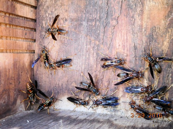 Ooops....another problem....this box is being taken over. No problem. This is the native species paper wasp and quite docile. I told them to go elsewhere.