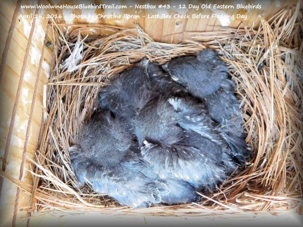 WHBBT-Nestbox #43-12-Day Old EABL