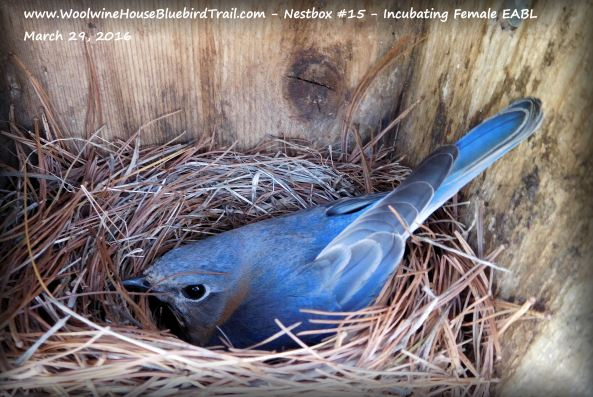 Wait! Let's not forget Mrs. Bluebird, too! Look how beautiful she is!