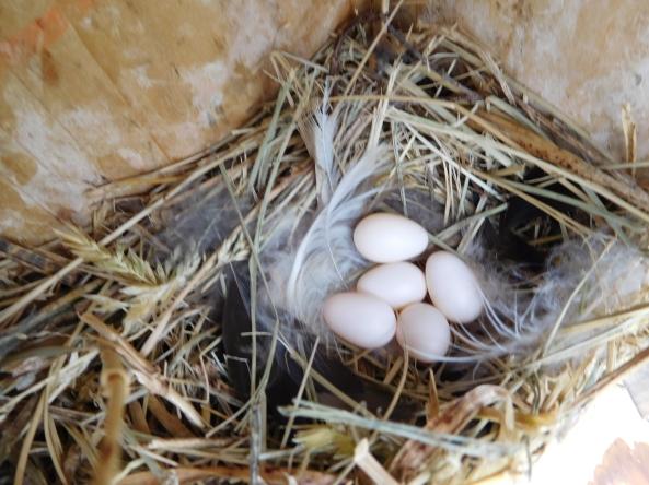 Beautiful Tree Swallow (TRES) eggs!