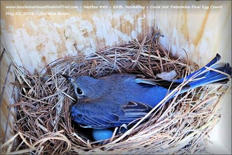 Mom blue Incubating 2016 at Nestbox 15