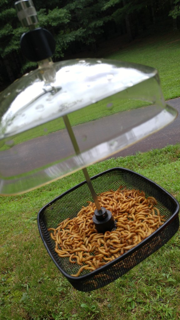 One of several styles of mealworm feeders I use. I feed live mealworms during the nesting season and dried ones mixed with suet nuggets and soaked cut-up raisins in the winter.