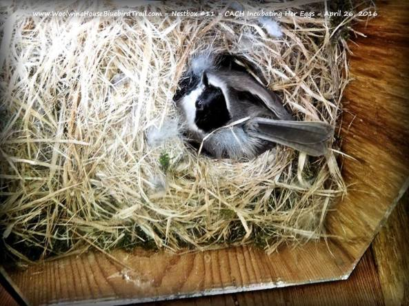 Hello Mrs. Chickadee. I hope I'm not disturbing you too much.